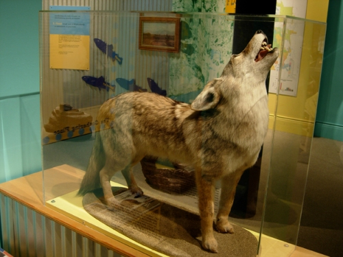 Could you hear the coyote's story?