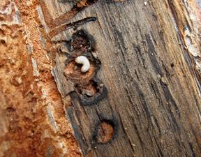 Pine beetle larva