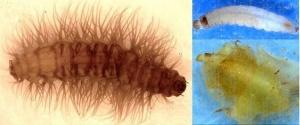 Moth larva (photo: Dale Parker)