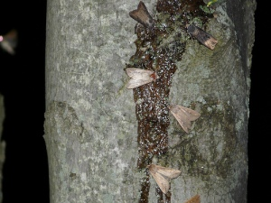 Sugaring for moths image courtesy of Shawn Wainwright