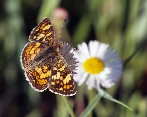 Butterfly at Pineridge Natural Area, image courtesy of Otto West