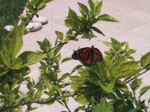 Image courtesy of the Bermuda Monarch Conservancy