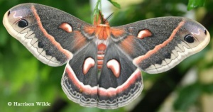 Cecropia moth image courtesy of BMONA