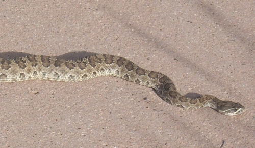 Western rattlesnake -- urban wildlife to enjoy from a distance!