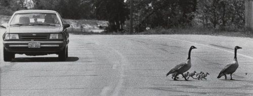 geese crossing road