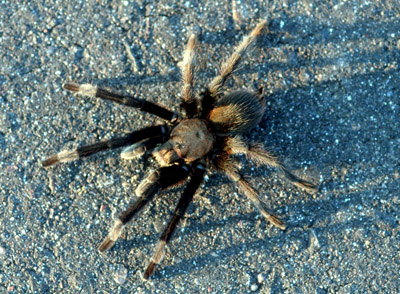 a history of tarantulas Tarantulas originally got their name from a spider that is not a tarantula at all in  the region surrounding the southern italian town of taranto, the locals believed.